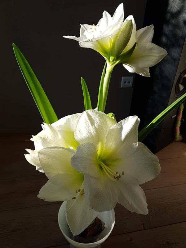 amaryllis in volle bloei