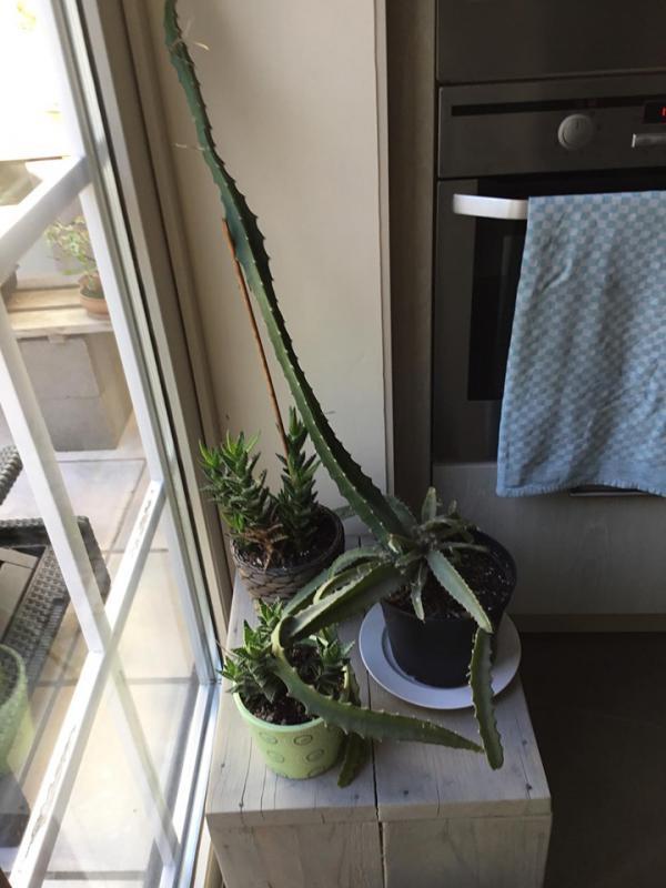 cactus te zwaar geworden