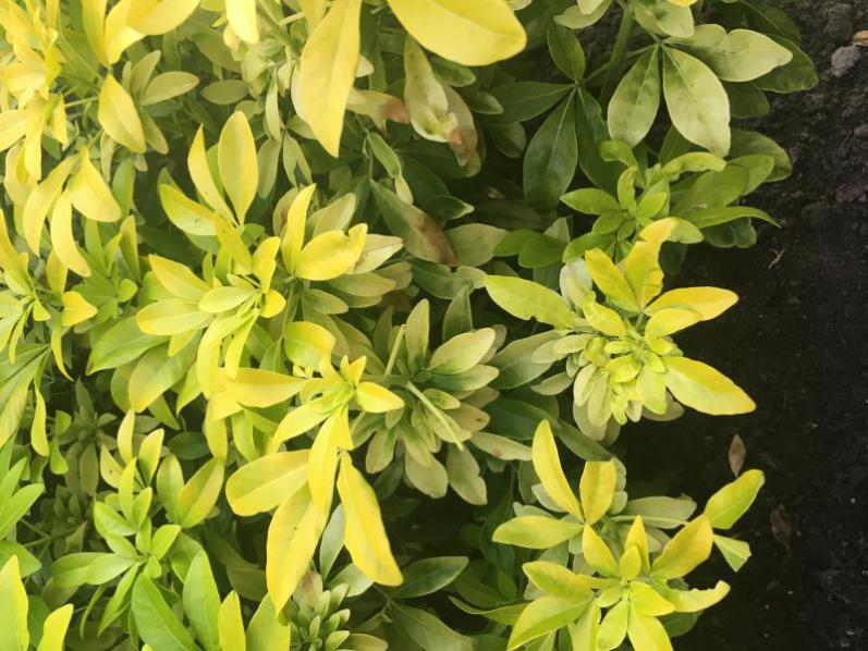 'Buurman' Choisya bruin blad