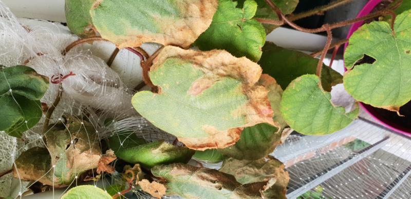 detail bruin blad kiwiplant