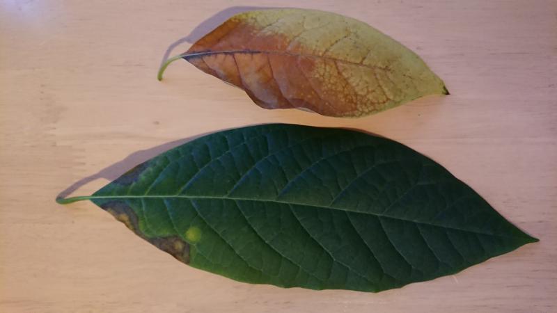 oud blad dat al een nachtje van de oudste plant af is en een die ik net heb afgebroken.