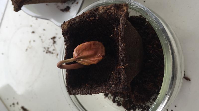 Het zaadje komt uit La Gomera en als het goed is moet het een boom worden! Weet iemand wat de naam is ?!