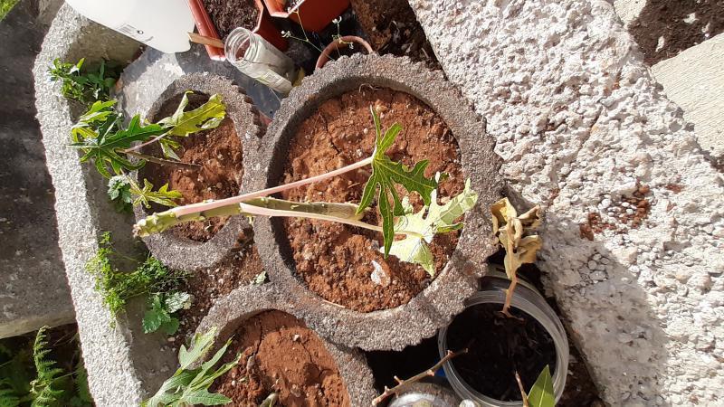 papayastek stopt met groeien