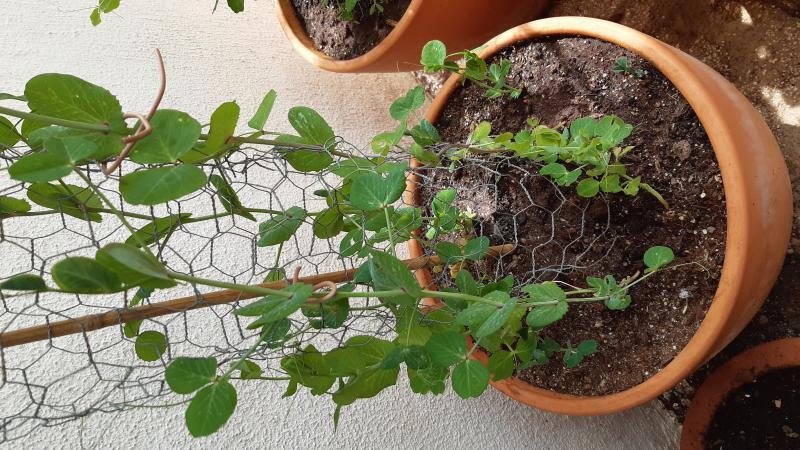 Peulen in pot
