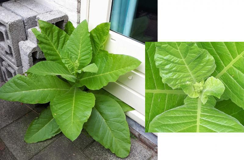 Wie weet hoe deze plant heet?