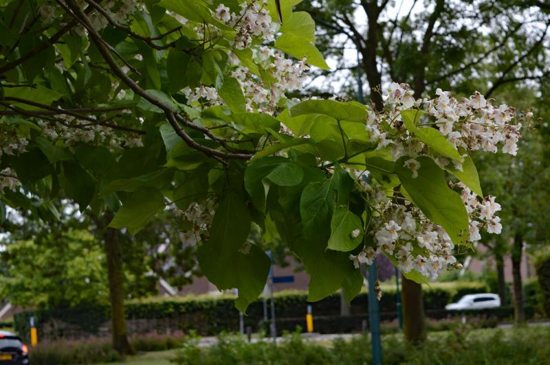 Bloeiende boom in juni