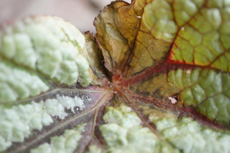 bladverlies bladbegonia