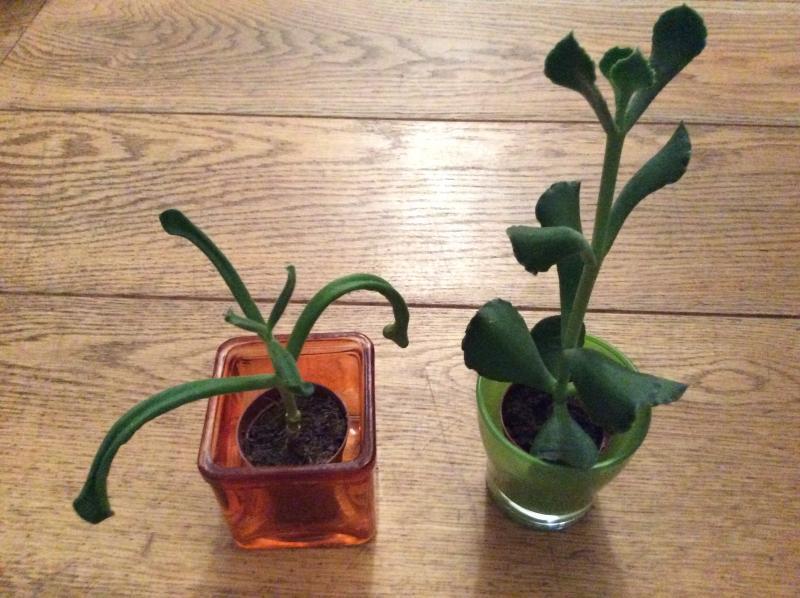 Welke vetplanten?
