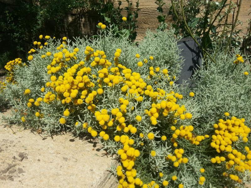 Gele bolle bloemetjes