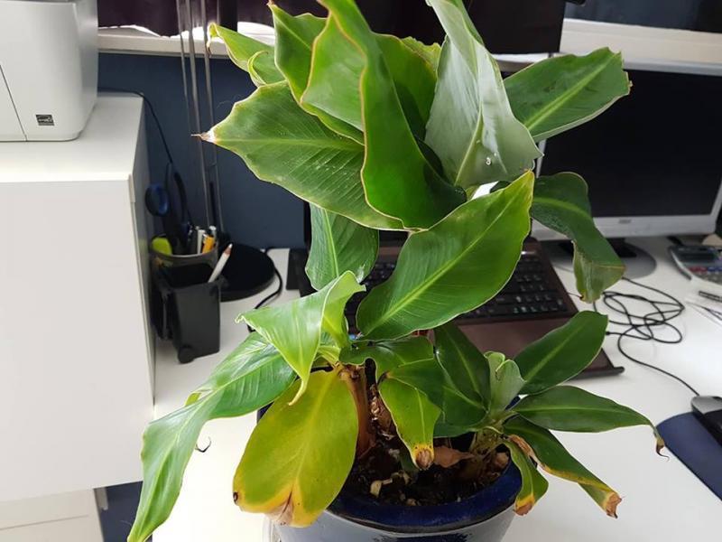 moeder bananenplant met 2 scheuten