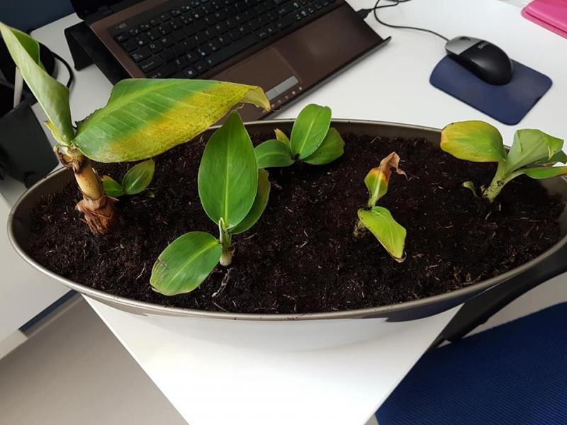een aantal scheuten van de moeder plant