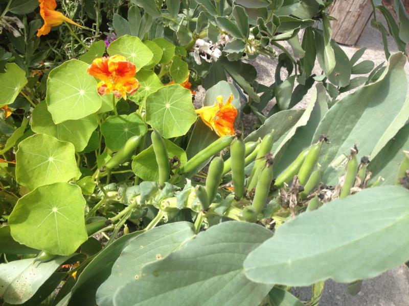 Welke plant is dit en rijpen zaden