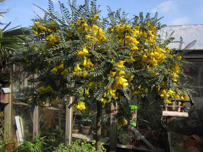 Sophora microphylla 'Sun King' 31-03-2019
