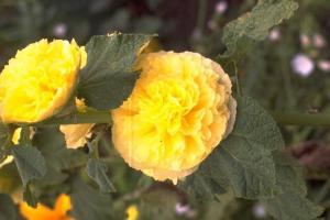 Alcea rosea 'Pleniflora' geel