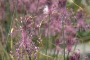 Allium carinatum subsp. pulchellum
