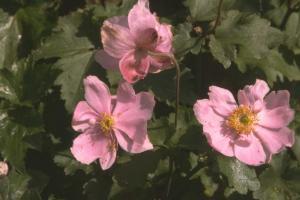 Anemone hupehensis 'Praecox'
