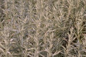 Artemisia ludoviciana 'Silver Queen'