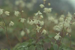 Epimedium grandiflorum