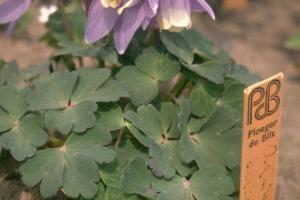 Iris 'Amethyst Flame'