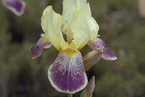 Iris 'Quaker Lady'