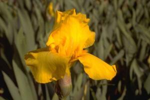 Iris 'Sun Miracle'