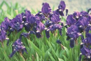 Iris 'Azurea'
