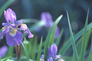 Iris 'Perry's Blue'