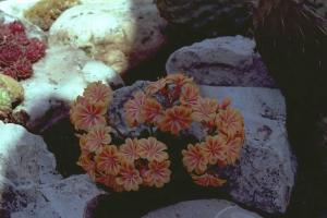 Lewisia Sunset Hybrids