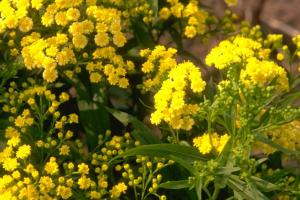 Solidago 'Super'