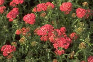 Achillea millefolium 'Lisette'