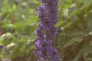 Aconitum x cammarum 'Franz Marc'