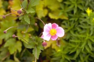 Anemone x hybrida 'Hadspen Abundance'