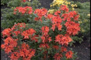 Rhododendron 'Balzac'