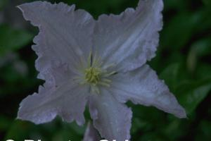 Clematis 'Blekitny Aniol'