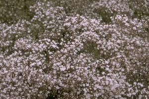 Gypsophila paniculata 'Schneeflocke'