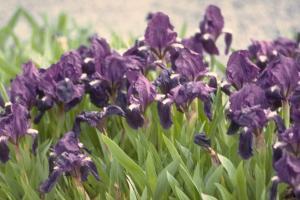 Iris 'Atroviolacea'