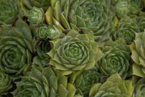Sempervivum 'Lilofee'