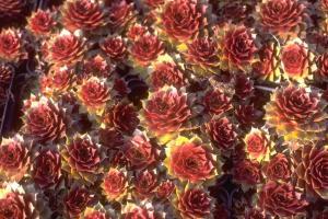 Sempervivum 'Rubin'