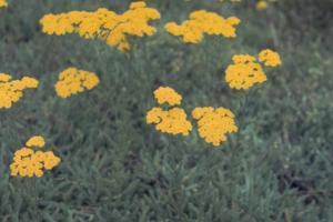 Achillea tomentosa 'Grandiflora'