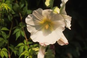 Alcea rosea wit