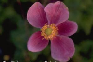 Anemone hupehensis 'Superba'