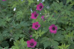 Geranium 'Anne Thomson'