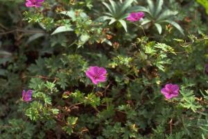 Geranium 'Dilys'