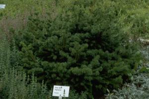 Picea abies 'Highlandia'