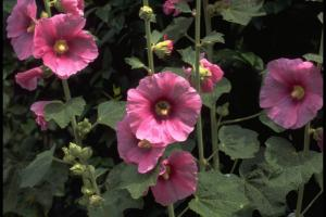 Alcea rosea roze