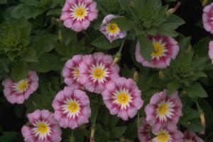 Convolvulus tricolor 'Rose Ensign'