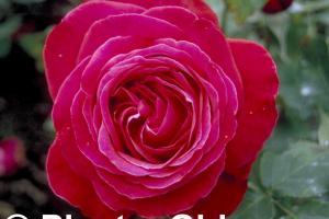 Rosa 'Alec's Red'