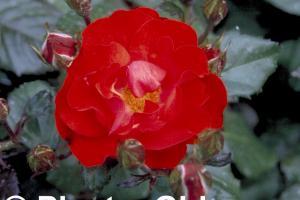 Rosa 'Amsterdam'