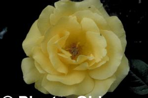 Rosa 'Auguste Victoria'