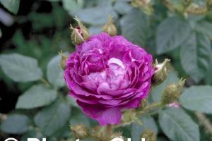 Rosa 'Baron de Wassenaar'